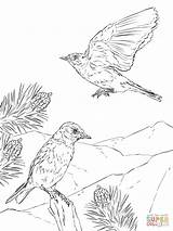 Coloring Bluebird Pages Mountain Woodland Birds Eastern Printable Animals Creature Realistic Print Drawing Drawings Designlooter 12kb 1200px Recommended Categories Comments sketch template
