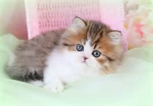 Teacup Munchkin Cats for Sale