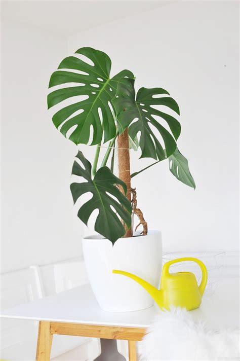 Pflanzen Für Wohnung by Die Besten Zimmerpflanzen F 252 R Die Wohnung Monstera