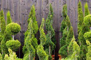 Was Ist Eine Solitärpflanze by Zypressen Tipps Zur Pflege