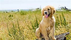 Golden Retriever Breed Profile Pet Yak