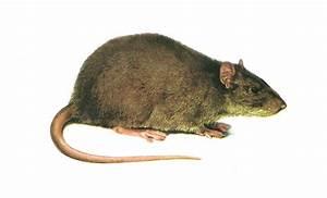 Wie Vertreibt Man Ratten : sch dlingsbek mpfung van loosen e k ber m use und ratten ~ Eleganceandgraceweddings.com Haus und Dekorationen