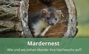 Marder Vertreiben Garten : das mardernest zur jungenaufzucht alles wissenswerte ~ Watch28wear.com Haus und Dekorationen