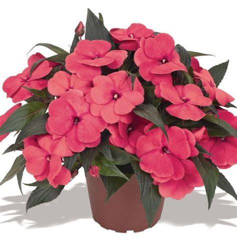 guinea impatiens magnum hot pink full shade annuals