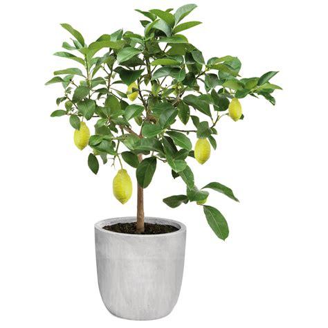 citronnier en pot prix 28 images citronnier mini feuillage artificiel hauteur 63cm pot