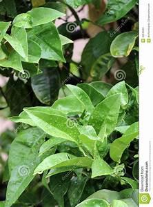 Prix D Un Citronnier : mouillez les feuilles d 39 un citronnier photo stock image ~ Premium-room.com Idées de Décoration