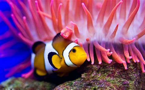 wallpaper clownfish diving red sea coral worlds