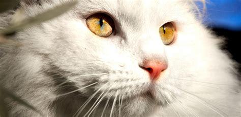 research reveals  cat dander triggers allergic