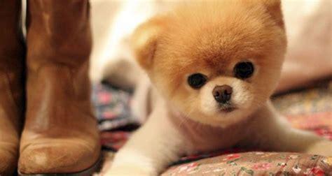 fotos de perros  parecen autenticos peluches
