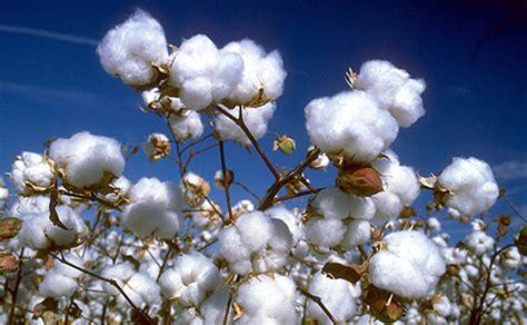 Cotton  The Twelve