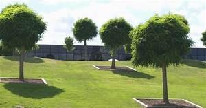 Kugelbäume Immergrün Winterhart : immergr ner kugelbaum hinweise zur pflege tiere ~ Watch28wear.com Haus und Dekorationen