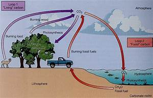 Diagram Of The Carbon Cycle | Search Results | InsectAnatomy