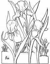 Coloring Adult Floral Iris Sheet Fairy sketch template