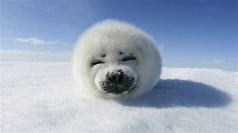 Animal Fur Wallpaper - fur seal on hd wallpaper and background