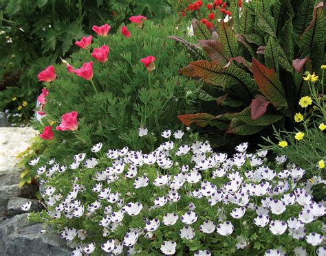 what are annuals nemophila maculata quot baby five spot quot buy online at annie s annuals