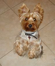 Best Silky Terrier Ideas And Images On Bing Find What Youll Love
