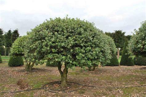chene vert en pot ch 234 ne vert quercus ilex taille bouturage entretien