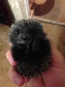 Black Baby Hedgehog