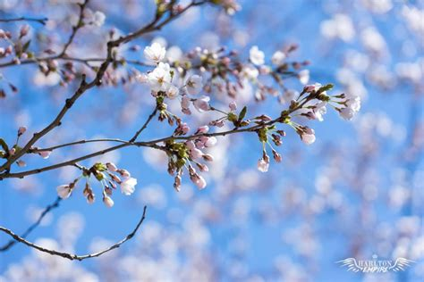 zoom backgrounds background screensavers cherry blossom diy