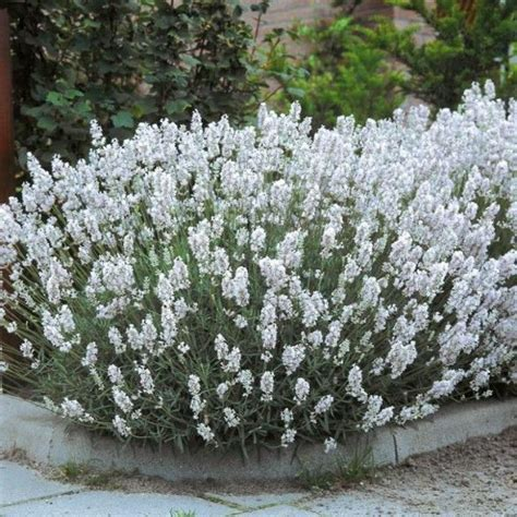 white garden flowers edelweiss lavender flowers and plants