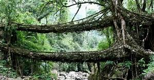Living Root Bridge « Inhabitat – Green Design, Innovation ...