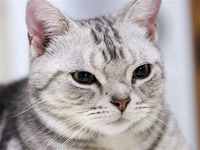 Shorthair American Cat Cats