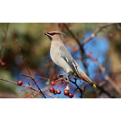 Suzanne Britton Nature Photography: Bohemian Waxwing