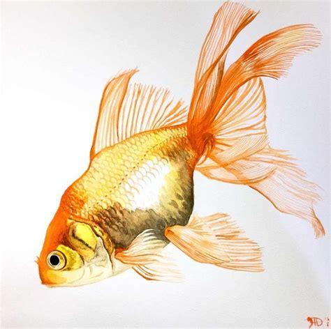 goldfish fancy fins watercolor  goldfish account