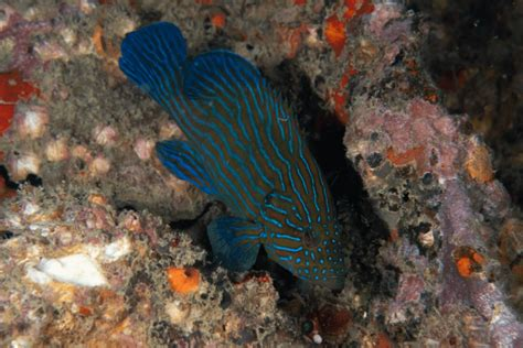 blueline grouper cephalopholis