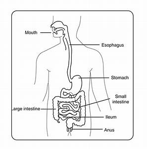 A Diagram Of The Digestive System With Labels  U2013 Image