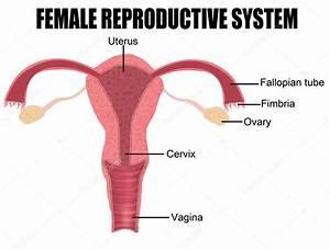 Female Reproductive System  U2014 Stock Vector  U00a9 Roxanabalint