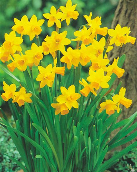 daffodil tete a tete for sale buy for 163 7 99