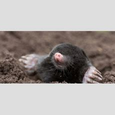 How To Kill Moles Quickly And Effectively Doityourselfcom