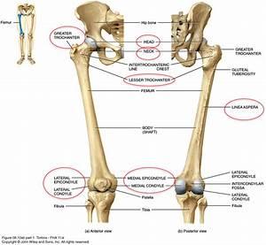 Anatomy  U0026 Physiology 403  U0026gt  Stribley  U0026gt  Flashcards  U0026gt   6
