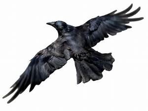 Raven PNG Transparent Raven.PNG Images. | PlusPNG