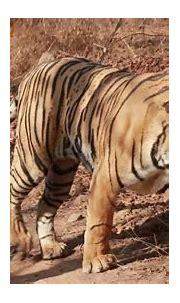 male tiger T112 or Ranthambhore - YouTube