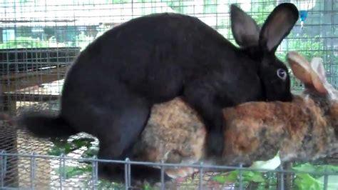 rabbits breeding youtube