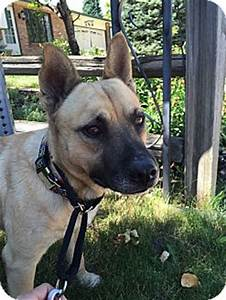 German Shepherd Dog/French Bulldog Mix Dog for adoption in ...
