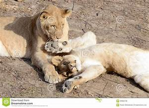 Lion sisters cuddle stock photo. Image of stare, female ...