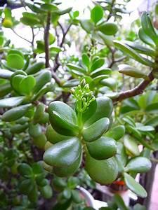 Geldbaum Feng Shui : feng shui und die wirkung der pflanzen ~ Bigdaddyawards.com Haus und Dekorationen