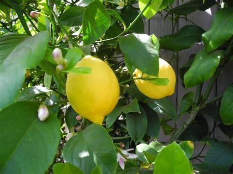 parassiti limone in vaso limone citrus limon agrumi caratteristiche limone