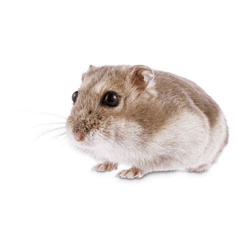 Dwarf Hamster | Petco