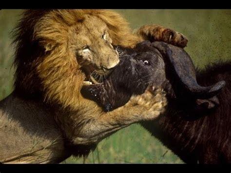 Lion Fighting Gorilla