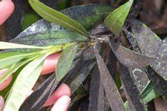 Oleander Draussen überwintern : oleander hat l use diese hausmittel helfen ~ Eleganceandgraceweddings.com Haus und Dekorationen