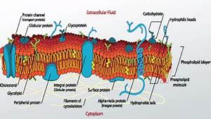 What Are Glycoproteins