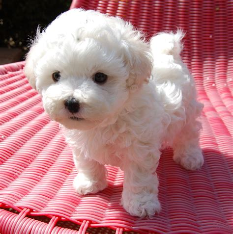 Tiny Non Shedding Dog Breeds by Bolognese Dogs Of Little White Wonder Part 9