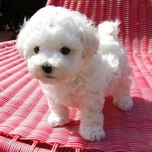 Bolognese dogs of Little White Wonder - Part 9 | Favorite ...