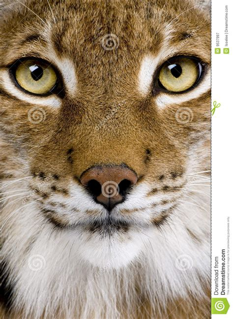 close    eurasian lynxs head royalty  stock
