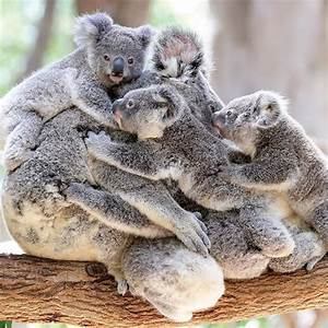 17 Best images about Koala Love on Pinterest | Baby koala ...