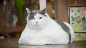 Verkleidung Für Katzen : ist ihre katze zu dick der body mass index f r katzen verr t es ihnen ~ Frokenaadalensverden.com Haus und Dekorationen